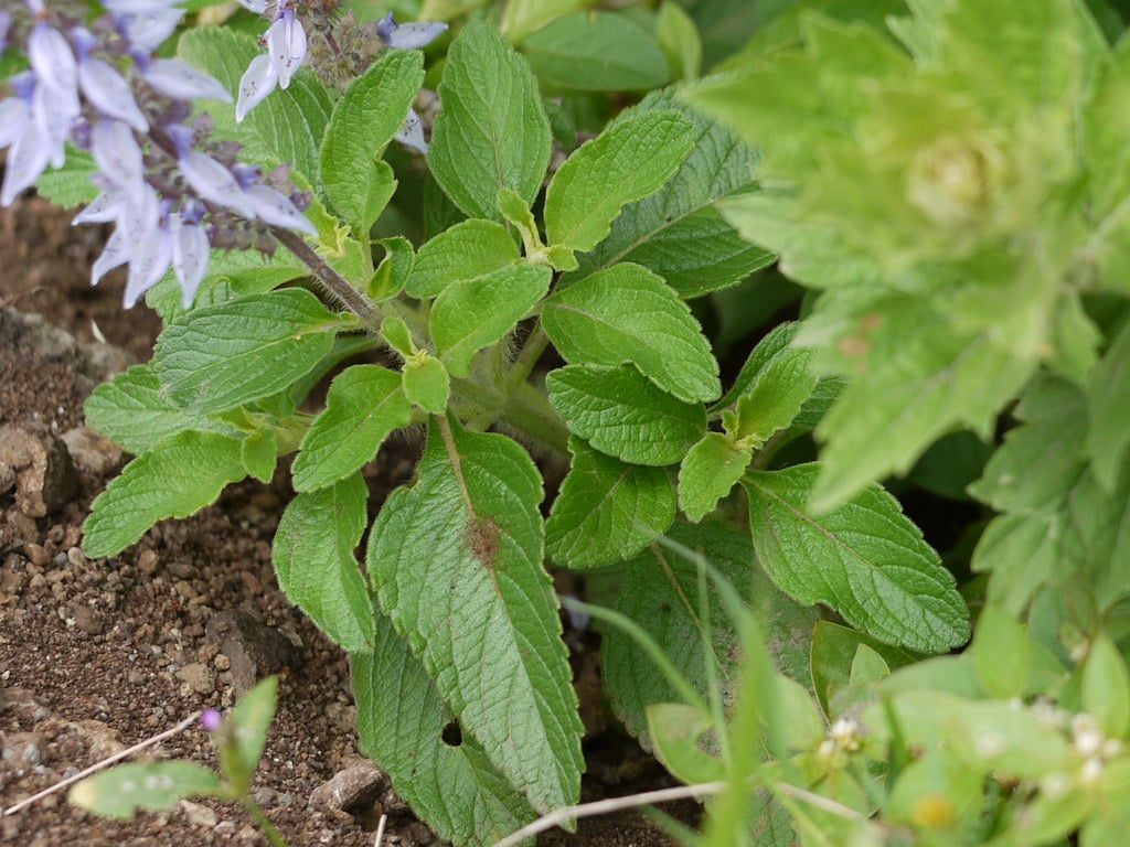 plant from the mint family