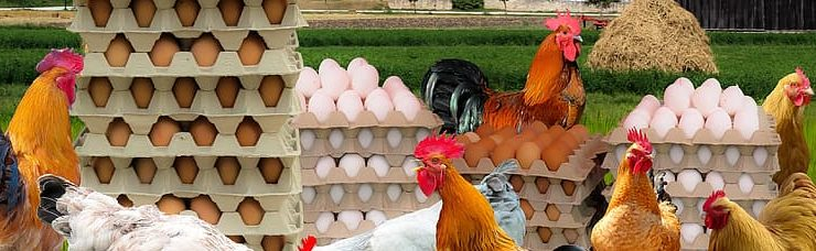 eggs in food production