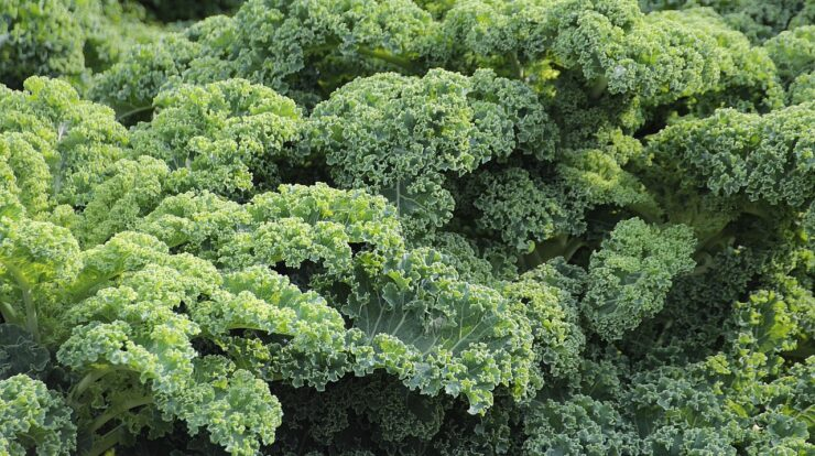 kale contains calcium
