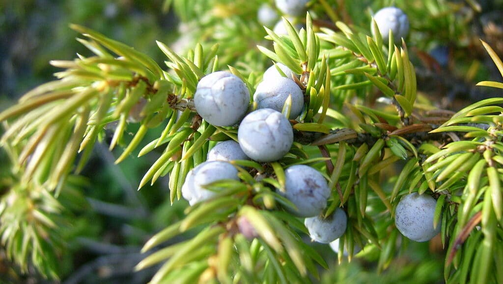 Where to Buy Juniper Berries Online and In Grocery Stores