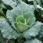 Cabbage: Is it a Vegetable? (Full Answer Here)