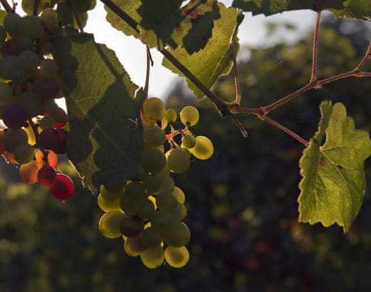 Where To Buy Grape Leaves? Here's All You Need To Know