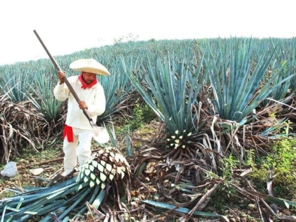 agave extraction